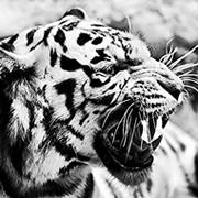 Kos Tiger . on My World.